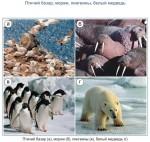 Птичий базар, моржи, пингвины, белый медведь