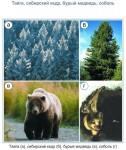 Тайга, сибирский кедр, бурый медведь, соболь