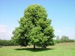 Какое дерево почитали древние славяне?